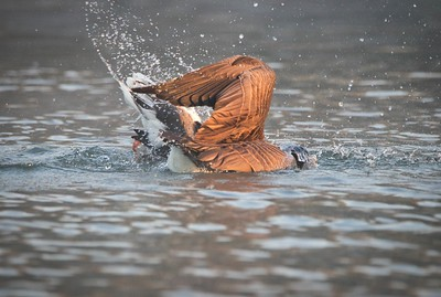 Canada Goose (Branta canadensis) & Greylag Goose (Anser anser)