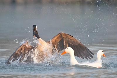 Canada Goose (Branta canadensis) & American Pekin