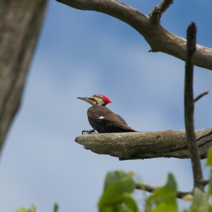 Pileated Woodpecker (Dryocopus pileatus) female
