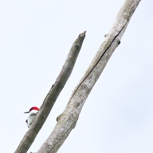 Red Headed Woodpecker (Melanerpes erythrocephalus)