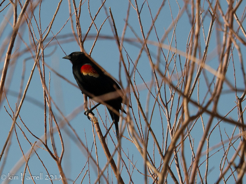 Red wing black bird.  Bosque del Apache.
