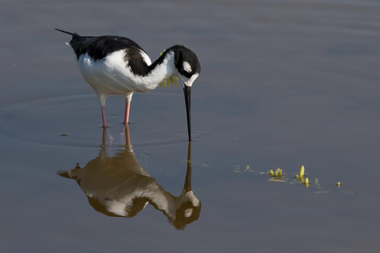 """Mirror, Mirror""<br /> (Himantopus mexicanus knudseni)"