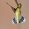 Rufous Hummingbird, Female, Timberline, West Virginia - USA