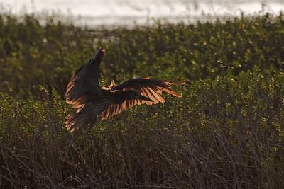 """""""Landing"""" ('Auku'u - Nycticorax nycticorax)"""