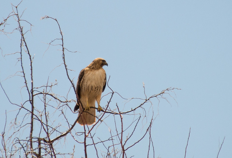 On watch at Bosque del Apache NWR, NM.