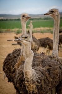 Ostrich watching