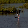 """Balancing Act""<br /> (Ae'o -- Hawaiian Stilt -- Himantopus mexicanus knudseni, courtship behavior)"