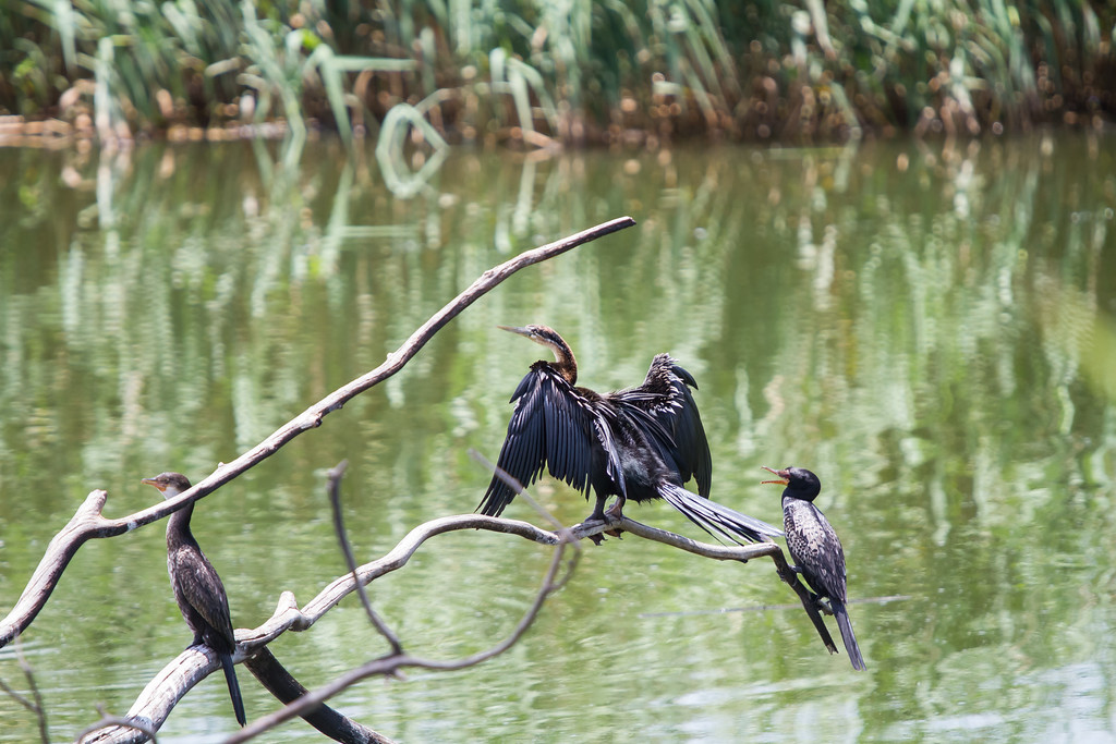 African Darter, Reed Cormorant, White Breasted Cormorant, Rietvlei, South Africa, January 2015