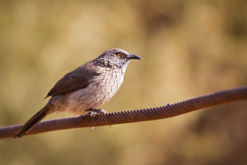 Arrow Marked Babbler, Pilanesberg, South Africa, August 2013