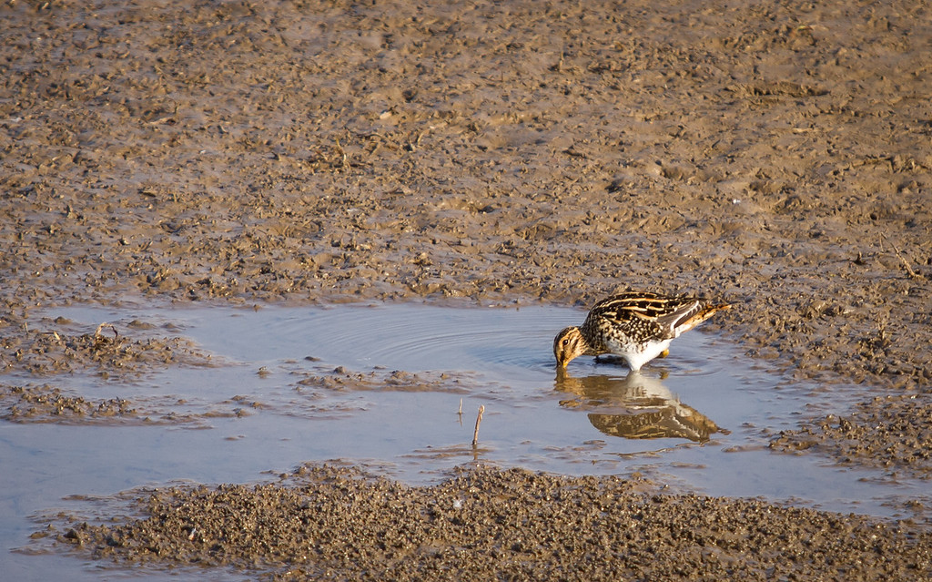 African Snipe, Pilanesberg, South Africa May 2013