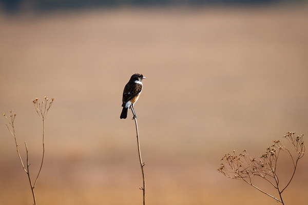 African Stonechat, Reitvlei, South Africa 2013