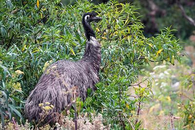 Berry Pickin Emu