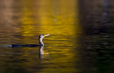 Cormorant Fall Colors