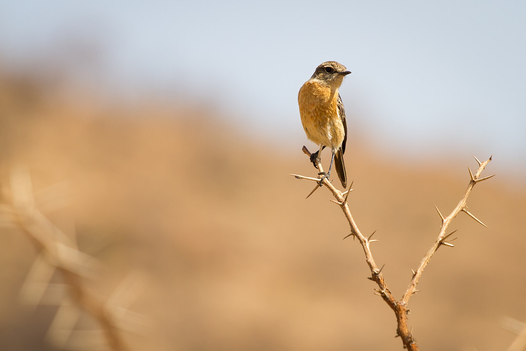 African Stonechat (female), Pilanesberg, South Africa, May 2013