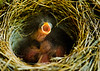 Junco Nest (Day of Hatch)