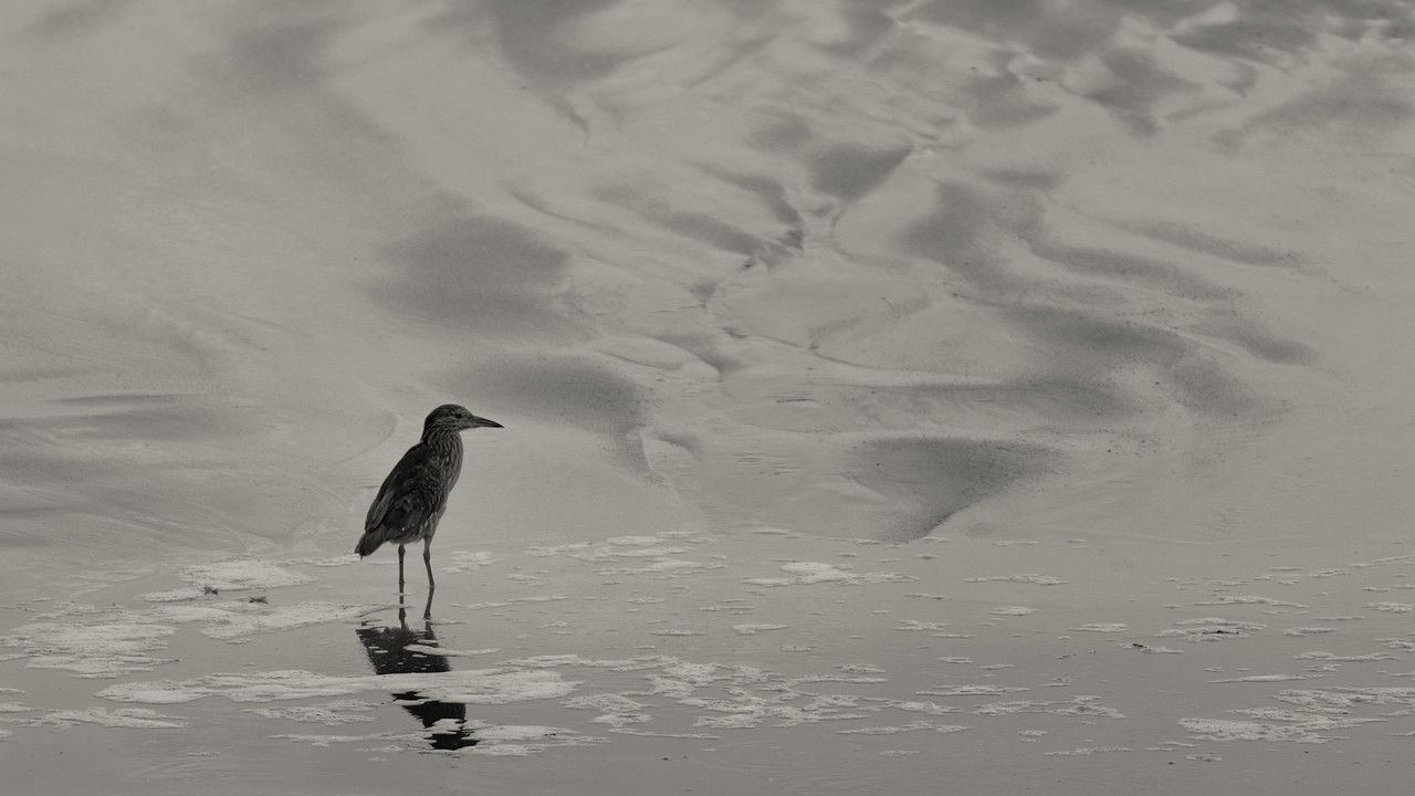 """""""Tide""""<br /> (Nycticorax nycticorax)"""