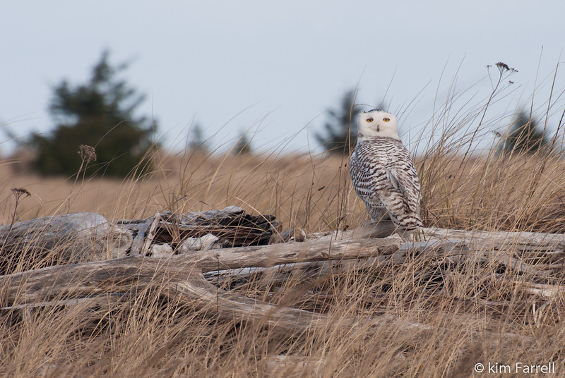 Snowy Owl. Daman Point, WA.