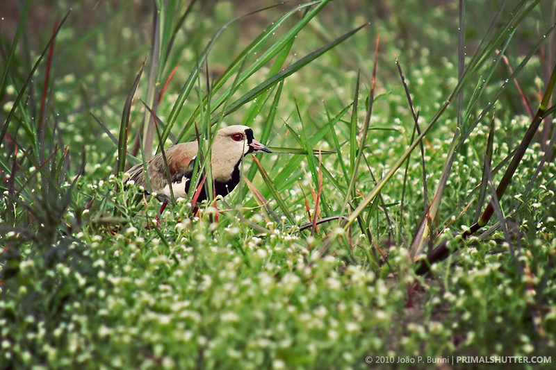 Vanellus chilensis (southern lapwing)