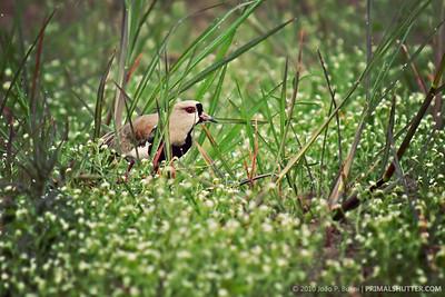 Vanellus chilensis (southern lapwing)