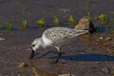"""Sanderling"" (Calidris alba)"