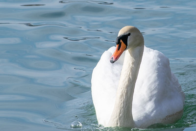 Labod / Swan