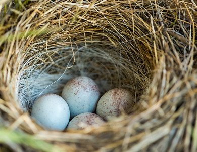 Junco Nest (Junco hyemalis)