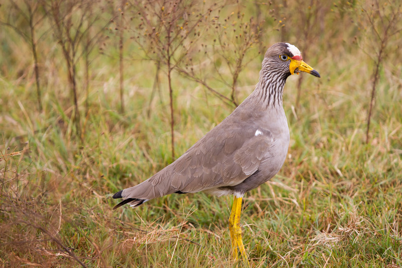 African Wattled Lapwing, Rietvlei, South Africa, April 2014