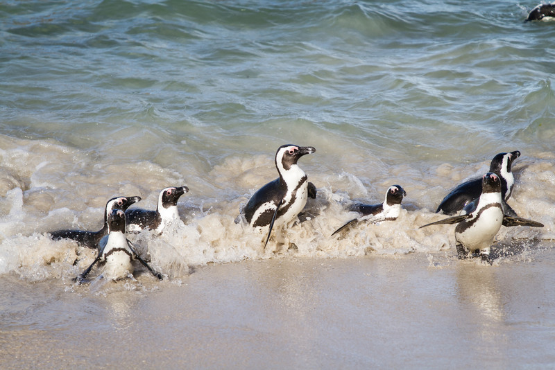 African Penguin, Boulders Beach, South Africa, May 2014