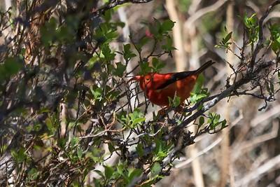 """I'iwi Morning"" (I'iwi -- Vestiaria coccinea -- courtesy Nature Conservancy)"