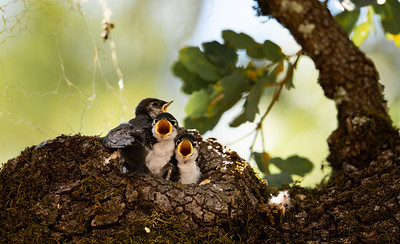 Violet-green Swallows (Tachycineta thalassina)