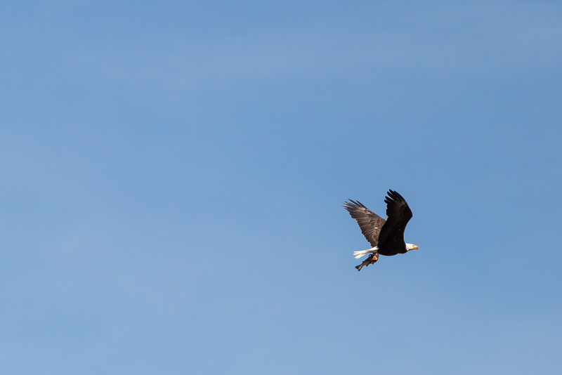 Bald Eagle, Bainbridge Island, Washington, July 2015