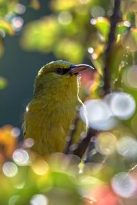 """""""Forest Home"""" (Maui 'Amakihi -- Hemignathus virens)"""