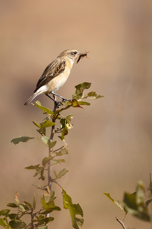 African Stonechat (female), Reitvlei, South Africa, May 2013