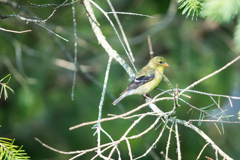American Goldfinch, Whitewater, WI, June 2015