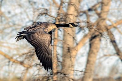 A Bit of a Goose