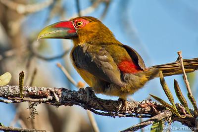 Pteroglossus bailloni (saffron toucanet)