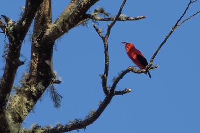 """""""Sing"""" (I'iwi -- Vestiaria coccinea -- courtesy Nature Conservancy)"""