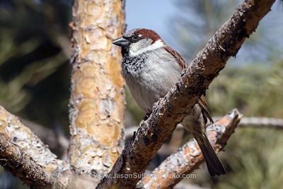 Sparrow Sunning