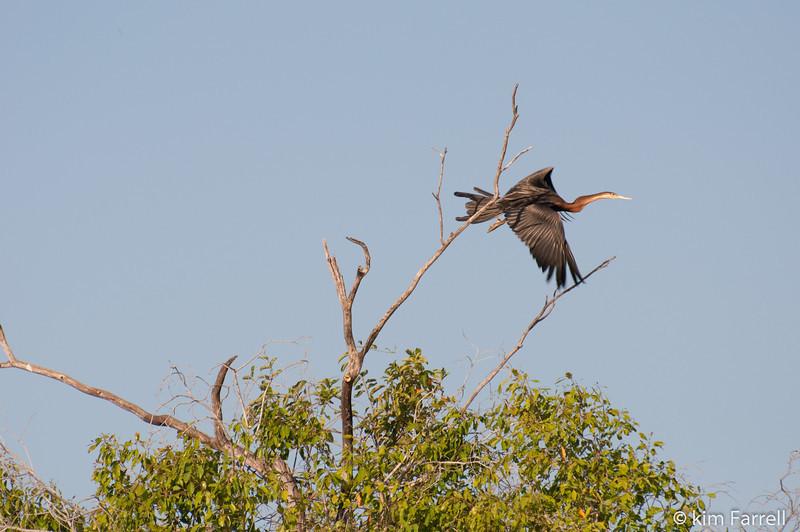 Heron.  Lafupa River, Zambia.
