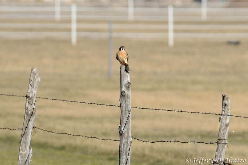 While we were heading over to shoot a bald eagle we saw sitting in a tree over the river, we spotted this kestrel sitting on the fence with his lunch in his talons.