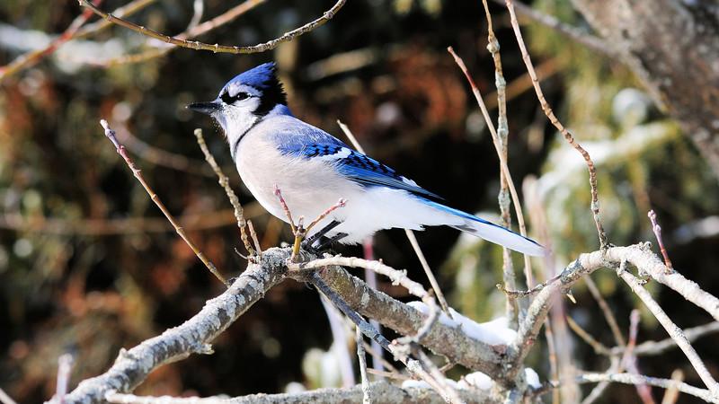 BLUE JAY_0436