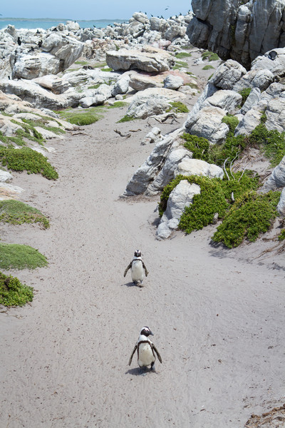 African Penguin, Betty's Bay, South Africa,  November 2013