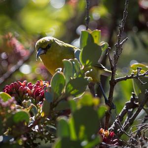 """""""'Amakihi"""" ('Amakihi -- Hemignathus virens -- Haleakala National Park)"""
