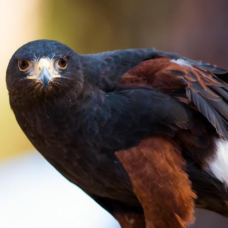Harri's Hawk
