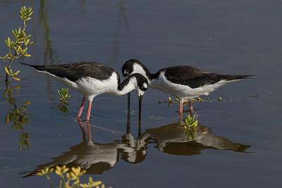 """""""Pair"""" (Himantopus mexicanus knudseni)"""