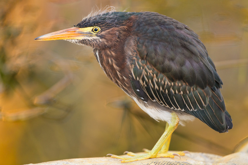 Green Heron, Chick