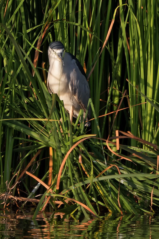 """Waiting""<br /> ('Auku'u - Nycticorax nycticorax)"