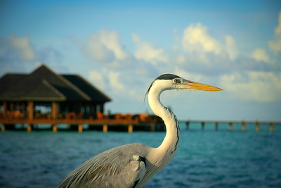 Heron Chlling in the Maldives