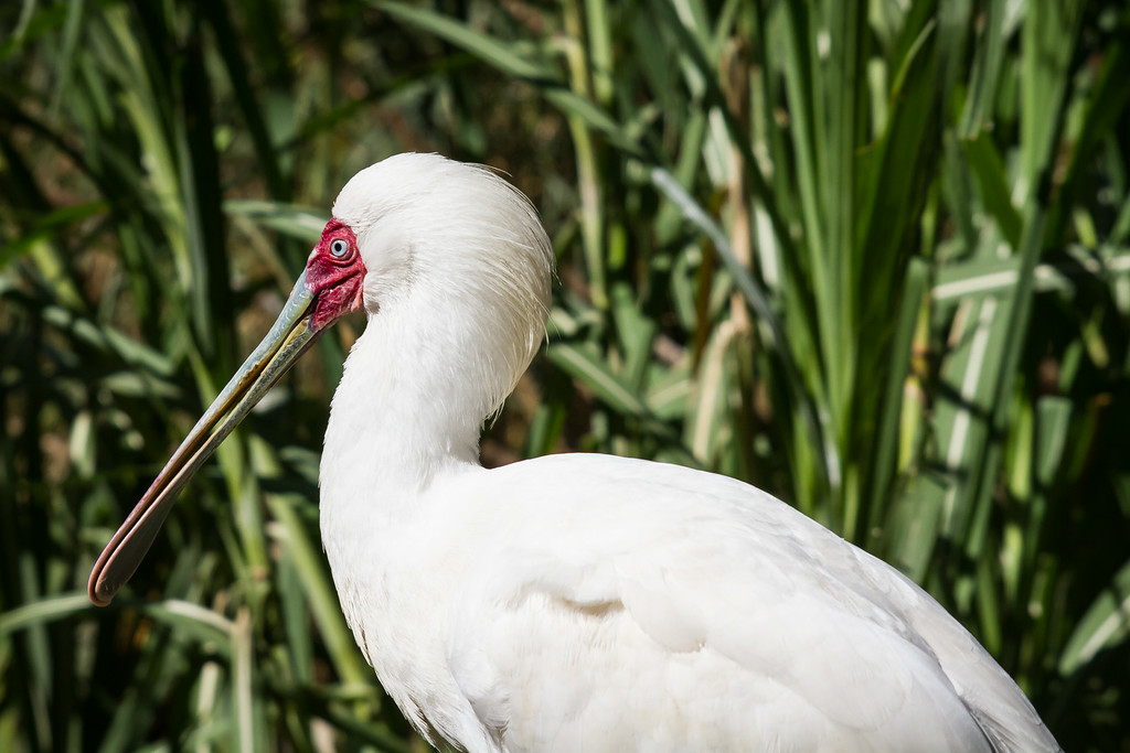 African Spoonbill, Durban, South Africa, August 2014