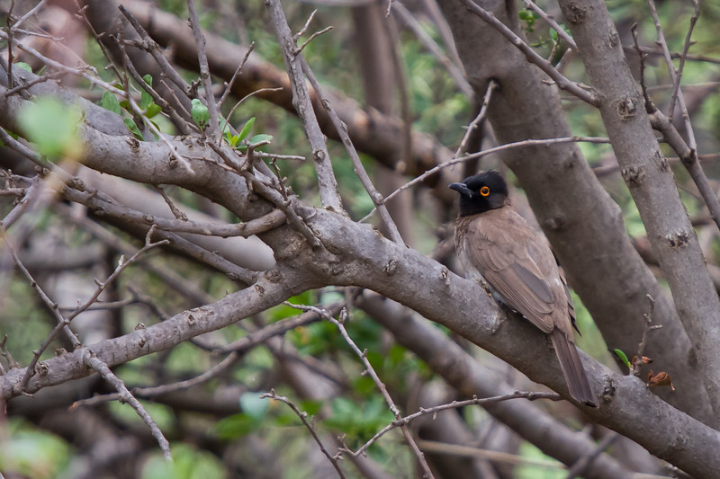 African Red-eyed Bulbul, Suikerbosrand, South Africa, December 2015